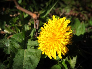 dandelion-050417