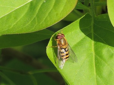 hoverfly-060417-a
