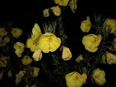 evening-primrose-night-2