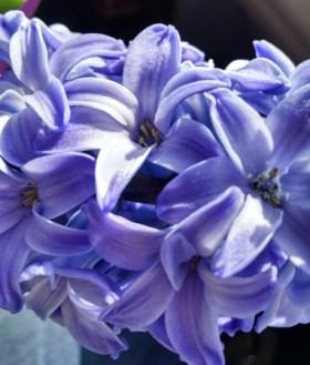 Pretty hyacinth