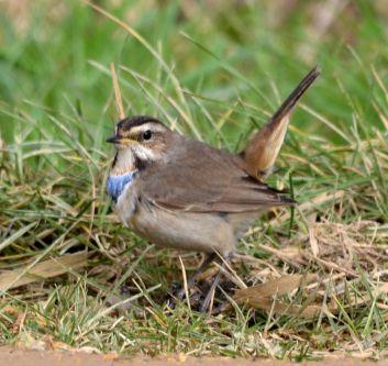 Bluethroat (1w male)