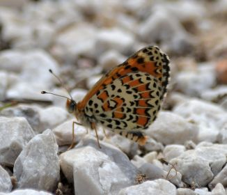 lesser spotted fritillary.1702 macedonia