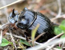 Rhinocerous Horn Beetle