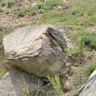 Rufous-tailed Rock Thrush