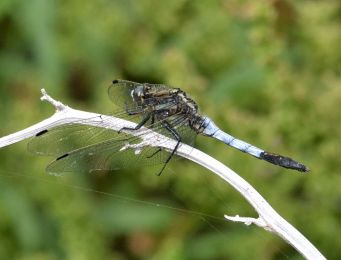 White-tailed Skimmer (male)