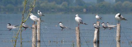 Whistered Tern and Black-headed Gulls
