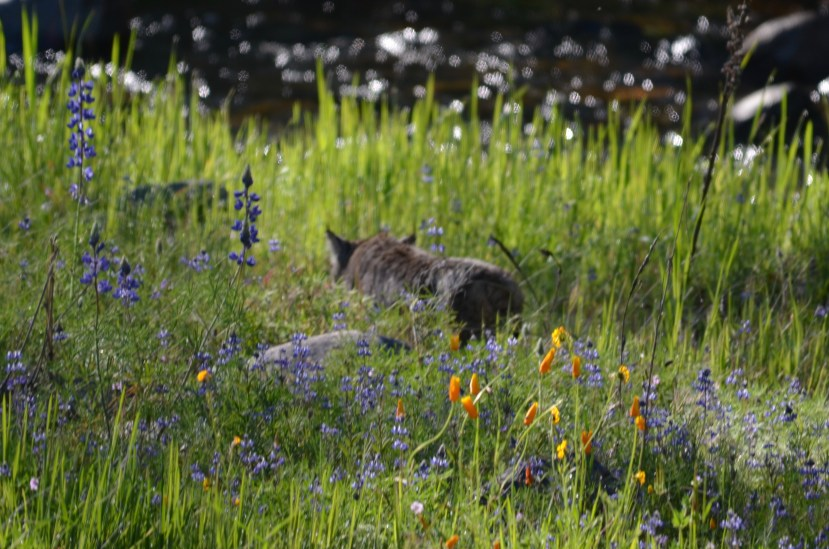Bobcat in the spring wildflowers