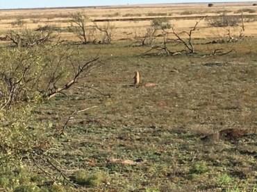 muleshoe-refuge-prairie-dog