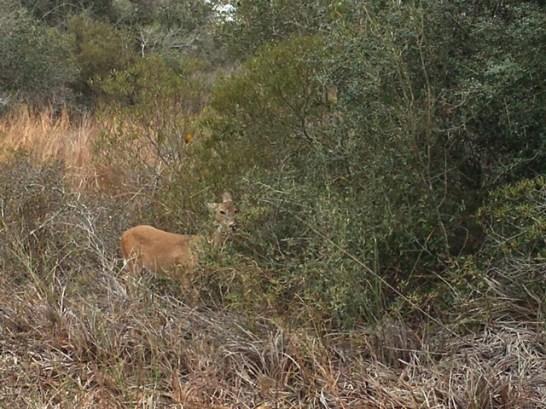 deer-at-aransas-nwr