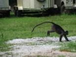 Dusky Leaf Monkeys_4