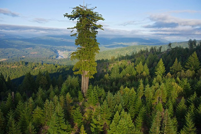 largest-redwood.jpg
