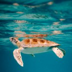 Ad Aruba, nei Caraibi, si può ammirare la nascita delle tartarughe marine