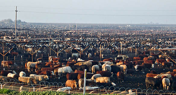 Image result for feedlots