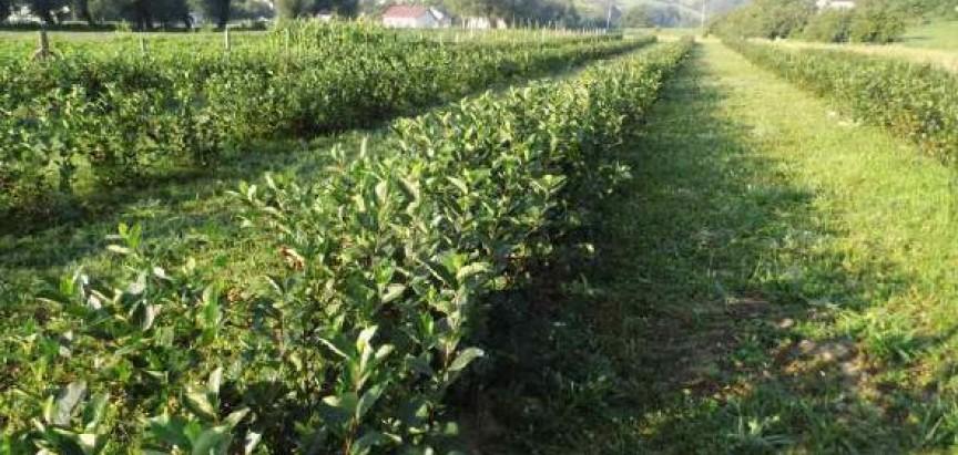 SLAVONSKI HIT PROIZVOD Hektar ovog ploda donosi oko 100 tisuća kuna