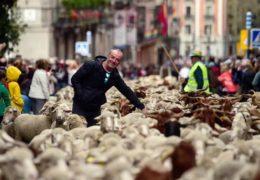 U Madridu ovce zamijenile automobile