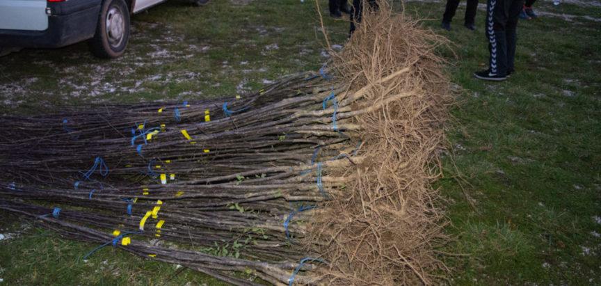 Izvršena podjela prvog dijela sadnica za podizanje novih i revitalizacija postojećih nasada šljive