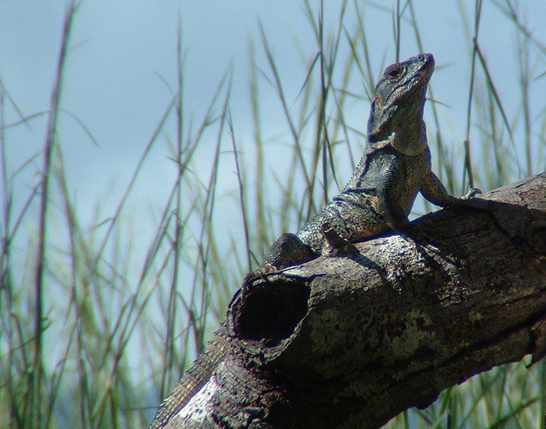 A hungry Costa Rican lizard
