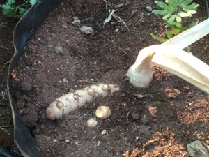 galangan root