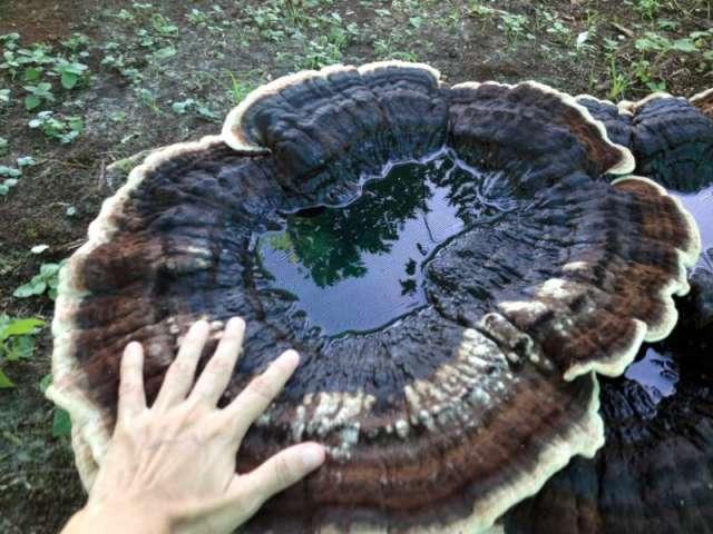 Largest Mushroom