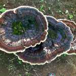Biggest Mushroom in Costa Rica?