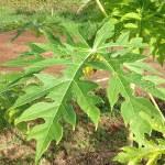 Papaya Leaf Cure for Dengue Fever