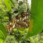 Butterfly laying yellow eggs