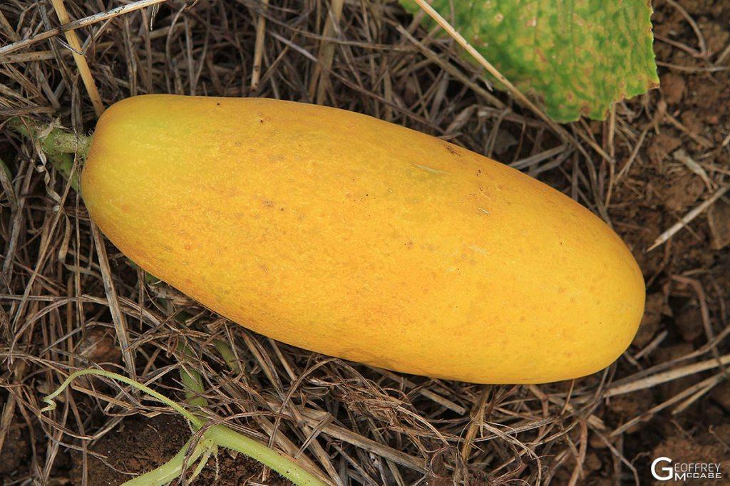 Cucumber - Yellow