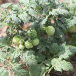 Toxic Edible Plants