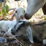 Baby goats just born