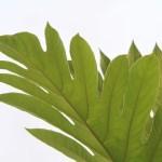 Breadnut Tree Leaf