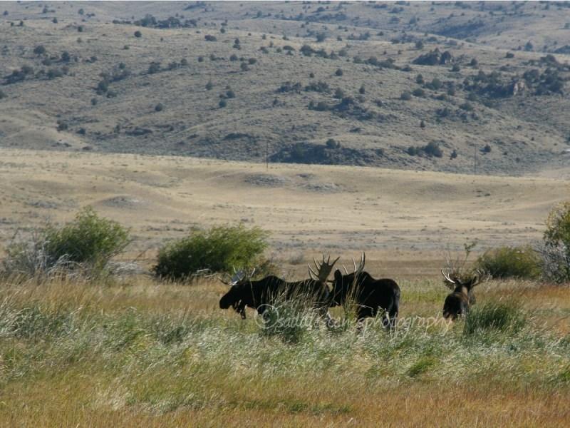 Bull Moose in winter-grazed pasture