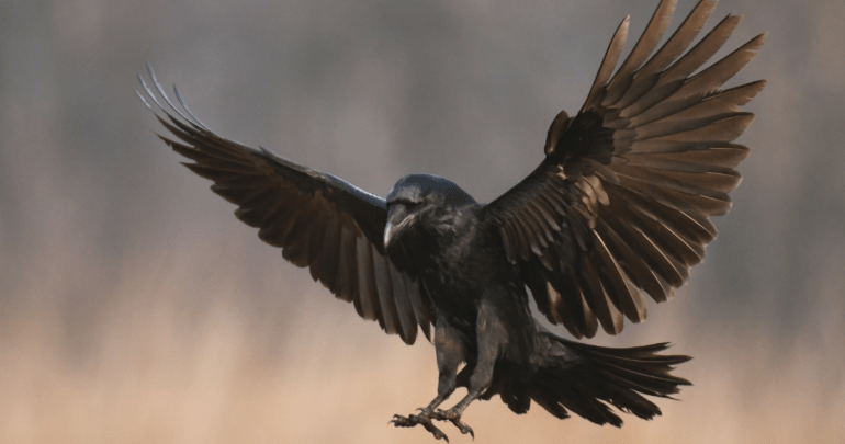 Folklore and magic of crows and ravens