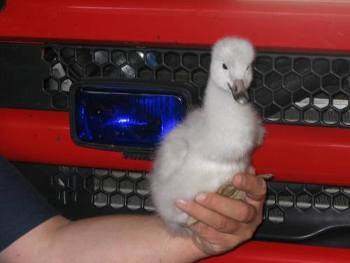 A three week old swan chick