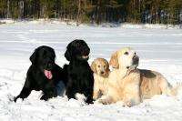 Two black and one yellow flatcoated and a golden retriever