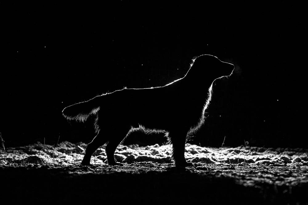 A flatcoated retriever silhouetted