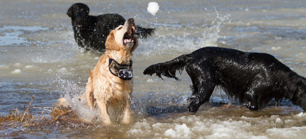 flatcoated retriever catching a snowball