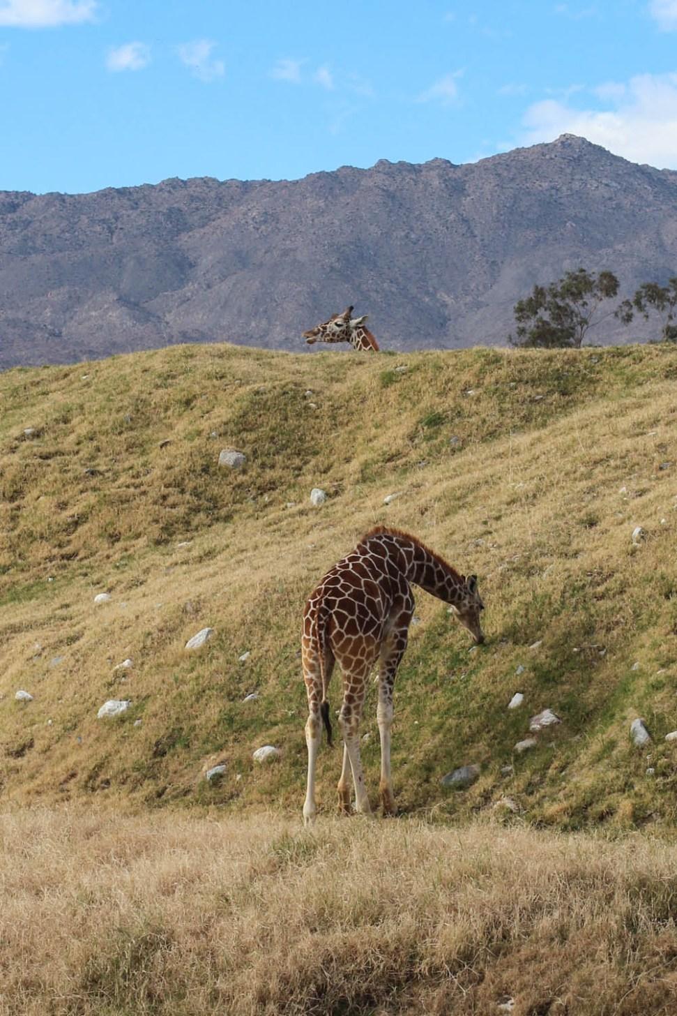 Giraffsss