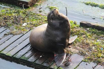 Sea Lion, Rys favorite in Newport