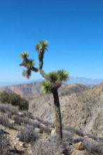 Joshua Tree. Yeah its ugly.