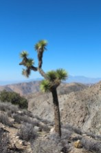 Joshua Tree. Yeah its ugly.