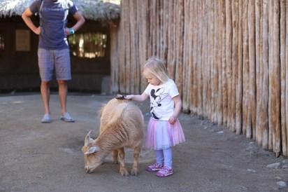 Goat petting.