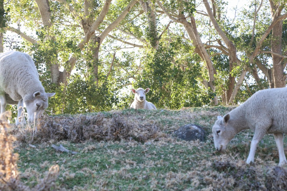 Mount Maunganui sheep