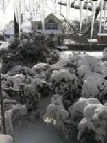 2013 Blizzard, Nemo. My poor Azalea *trees*