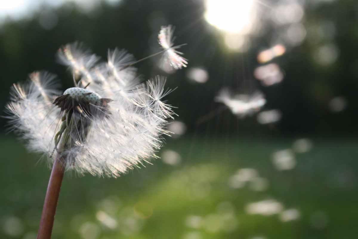 white dandelion flower shallow focus photography @randomnestfamily.org