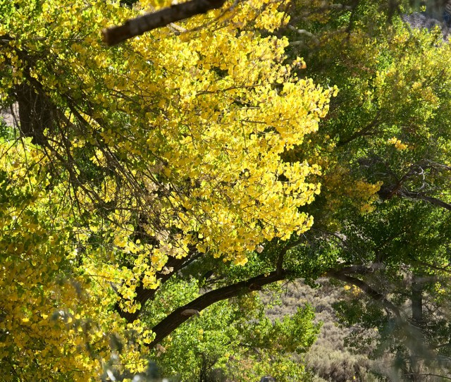 The Cottonwoods Are Donning Their Fall Colors I Love Walking Along The Carson River Particularly In The Fall
