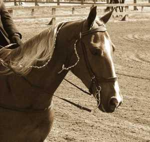 Sepia 634px-Tennessee_Walking_Horse_Head_pe