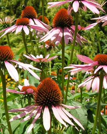 lavender-lavender-coneflowers-Coker-Arboretum-chamrick writer-randomstoryteller