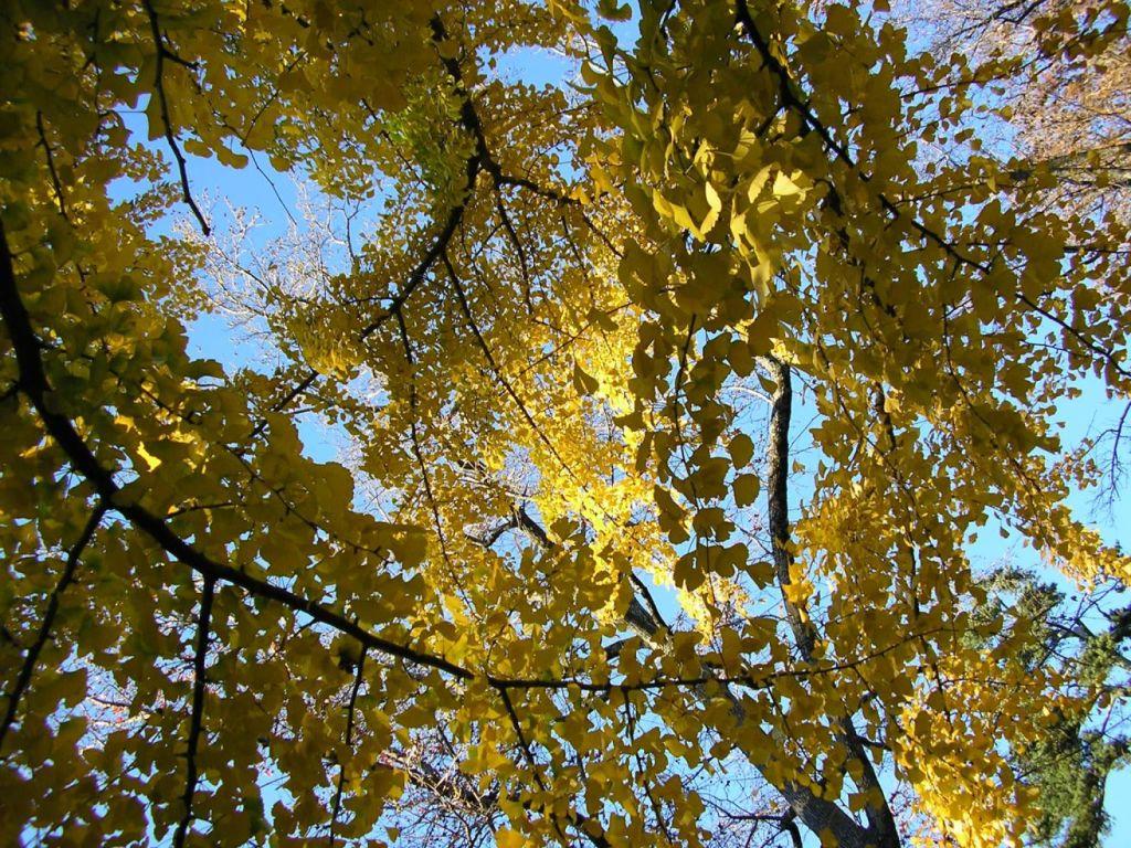 ginkgo trees in autumn-Coker Arboretum-chamrickwriter-randomstoryteller.com