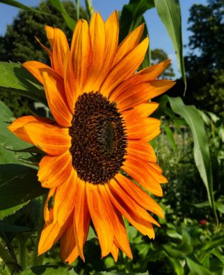 The Sunflower's Poetic Journey