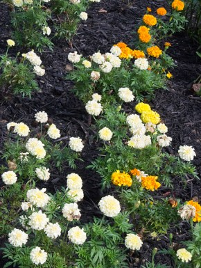 A sea of Marigolds